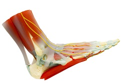 How to strengthen and stretch ankles and foot arches for dancers.